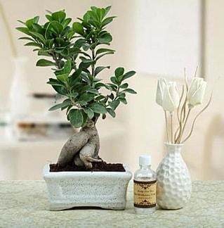 Ginseng ficus bonsai  Sivas çiçekçi mağazası