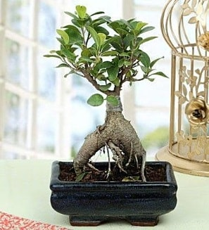 Appealing Ficus Ginseng Bonsai  Sivas cicekciler , cicek siparisi