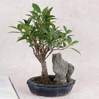 Japon ağacı Evergreen Ficus Bonsai  Sivas online çiçekçi , çiçek siparişi