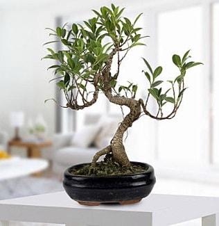 Gorgeous Ficus S shaped japon bonsai  Sivas çiçek mağazası , çiçekçi adresleri