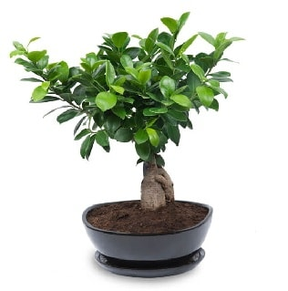 Ginseng bonsai ağacı özel ithal ürün  Sivas hediye çiçek yolla