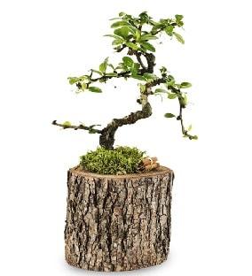 Doğal kütükte S bonsai ağacı  Sivas çiçek yolla