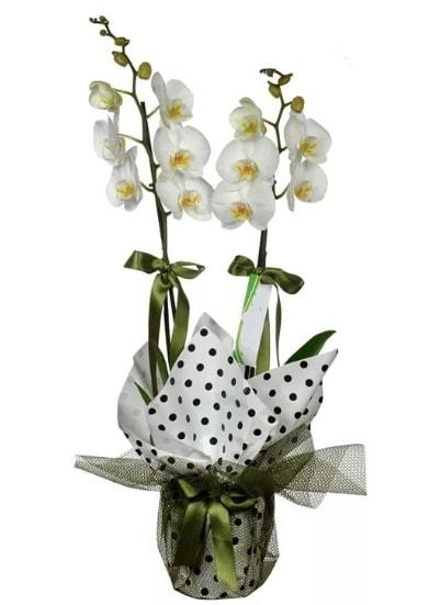 Çift Dallı Beyaz Orkide  Sivas cicek , cicekci
