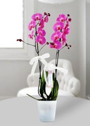 Çift dallı mor orkide  Sivas çiçekçi mağazası