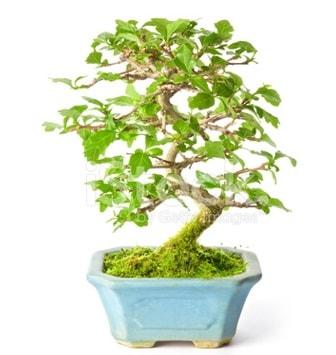 S zerkova bonsai kısa süreliğine  Sivas yurtiçi ve yurtdışı çiçek siparişi