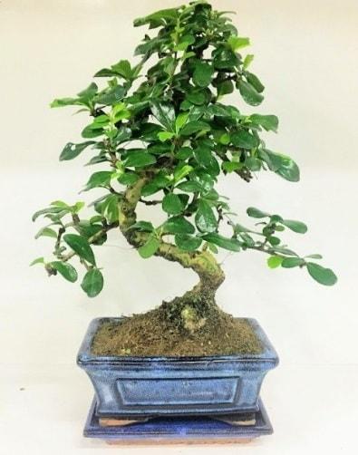 S Bonsai japon ağacı bitkisi  Sivas online çiçek gönderme sipariş