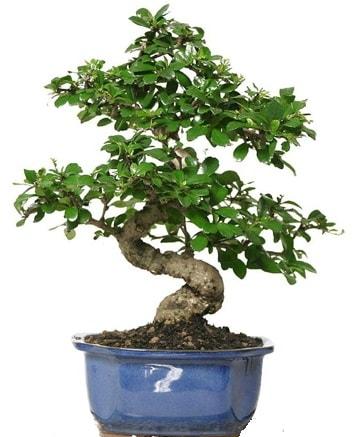21 ile 25 cm arası özel S bonsai japon ağacı  Sivas çiçek gönderme sitemiz güvenlidir