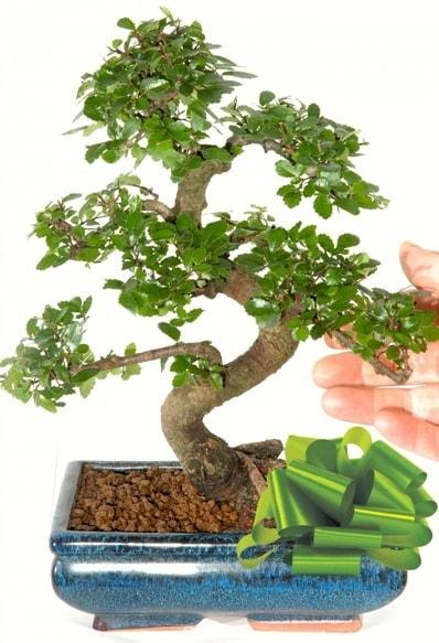 Yaklaşık 25 cm boyutlarında S bonsai  Sivas ucuz çiçek gönder