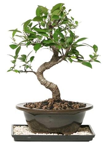 Altın kalite Ficus S bonsai  Sivas çiçek gönderme sitemiz güvenlidir  Süper Kalite