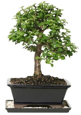 15 cm civarı Zerkova bonsai bitkisi  Sivas ucuz çiçek gönder