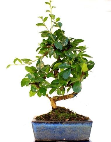 S gövdeli carmina bonsai ağacı  Sivas çiçek yolla , çiçek gönder , çiçekçi   Minyatür ağaç