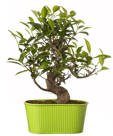 Ficus S gövdeli muhteşem bonsai  Sivas ucuz çiçek gönder