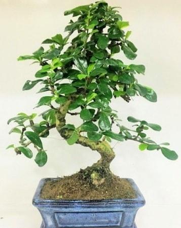 Zelkova S gövdeli Minyatür ağaç Bonzai  Sivas İnternetten çiçek siparişi