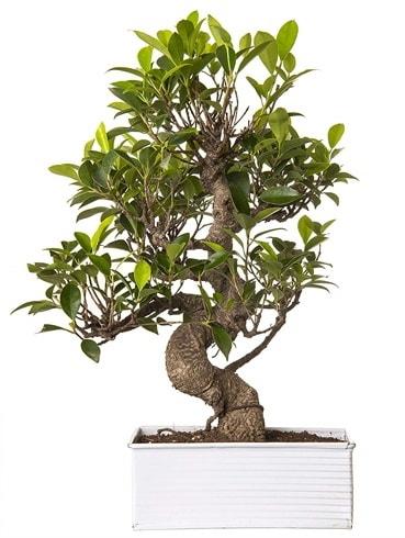 Exotic Green S Gövde 6 Year Ficus Bonsai  Sivas online çiçekçi , çiçek siparişi