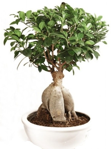 Ginseng bonsai japon ağacı ficus ginseng  Sivas yurtiçi ve yurtdışı çiçek siparişi