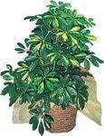 Sivas çiçek siparişi sitesi  Schefflera gold